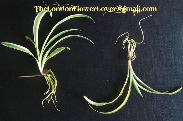 The London Flower Lover spider plant