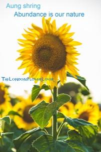 sunflower aung shring the london flower lover