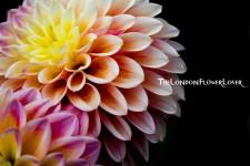 Dahilia the london flower lover